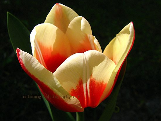 yellow tulip-closeup photo