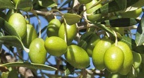 Manzanillo olive variety is from Spain, and is widely planted worldwide for table olive production