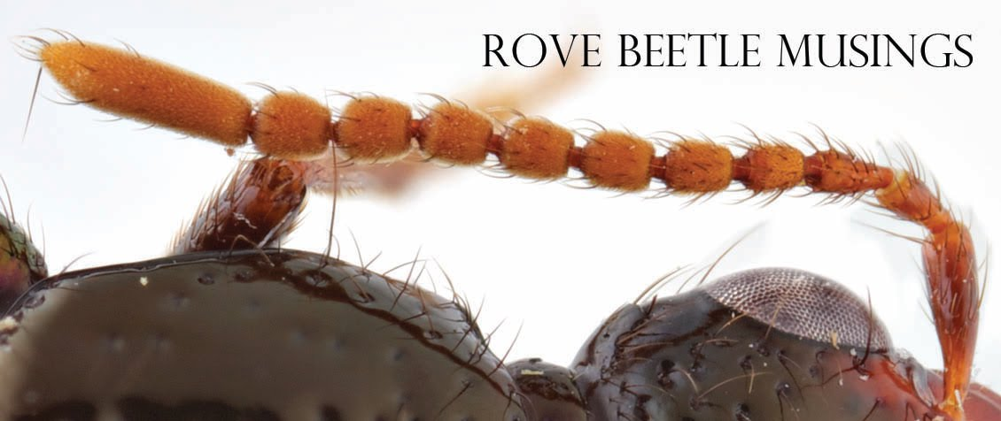 Rove beetle musings