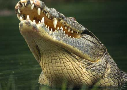 behaviour of Crocodile