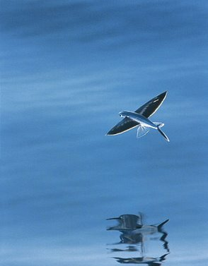 Amazing flying fish flying fishs facts photos for Where do flying fish live