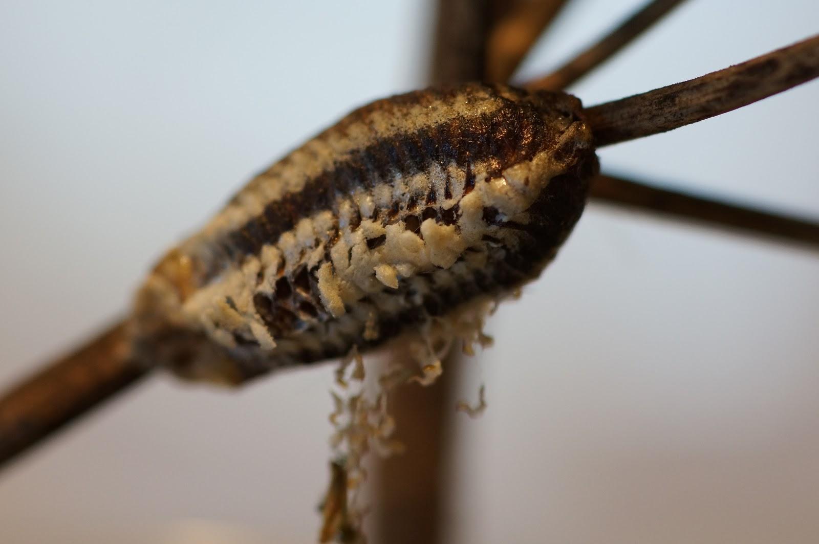 Praying Mantis Eggs Nature Gardens ...