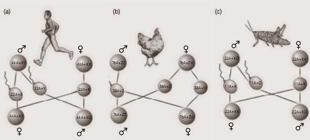 Beberapa tipe penentuan jenis kelamin pada (a) manusia, (b) ayam, dan (c) belalang
