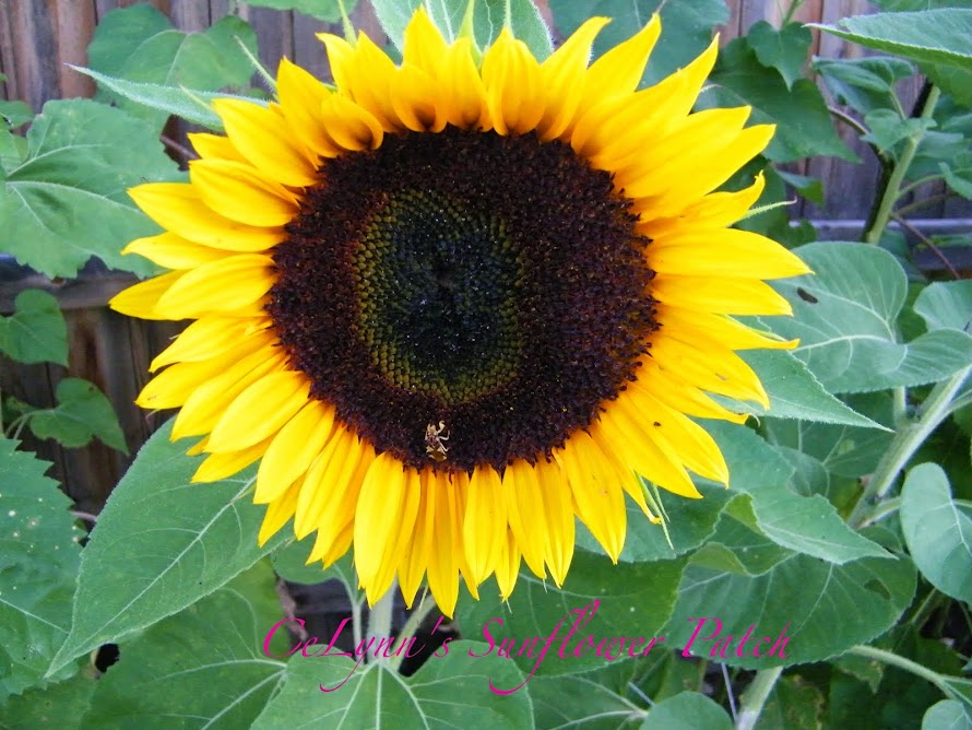CeLynn's Sunflower Patch