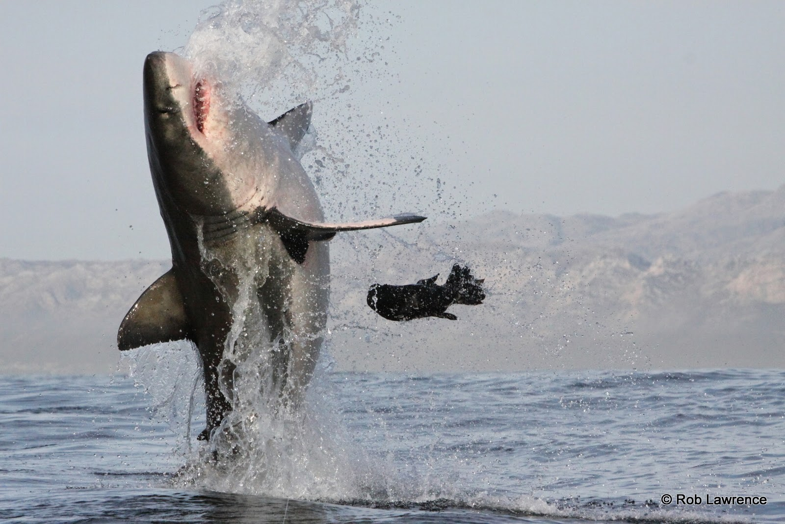 airjaws is back african shark eco charters airjaws first breach