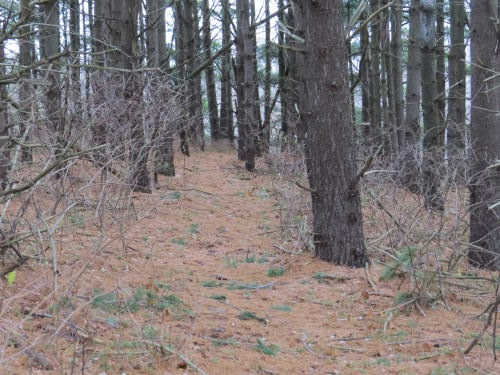 trail with pine needles