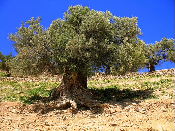 Pohon GHARQAD Melindungi YAHUDI Kenapa