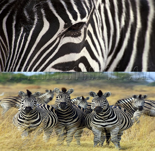 behind the zebra stripe lines