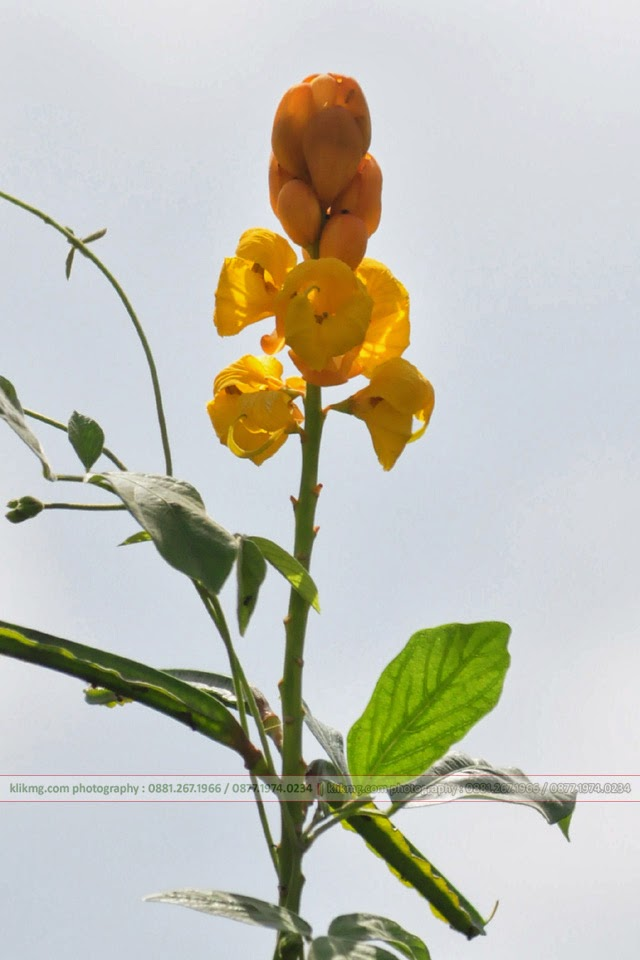 Bunga Perdu Jalanan Kuning Putih - Photo oleh KLIKMG.COM - Photographer Indonesia / Photographer Banyumas / Photographer Purwokerto