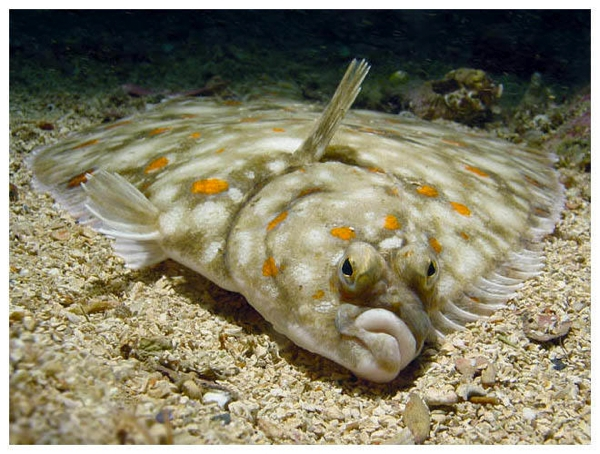Flounder for Picture of a flounder fish