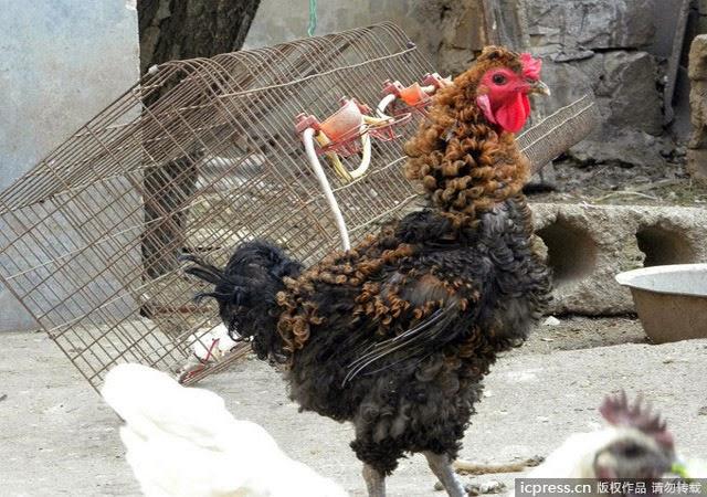 Un poulet d frise la chronique en chine un blog voyage for Poules decoration