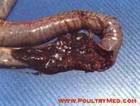 Hình 6: (c): Ruột có máu tươi lẫn lộn với các chất khác