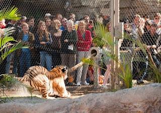 tarik tambang lawan harimau