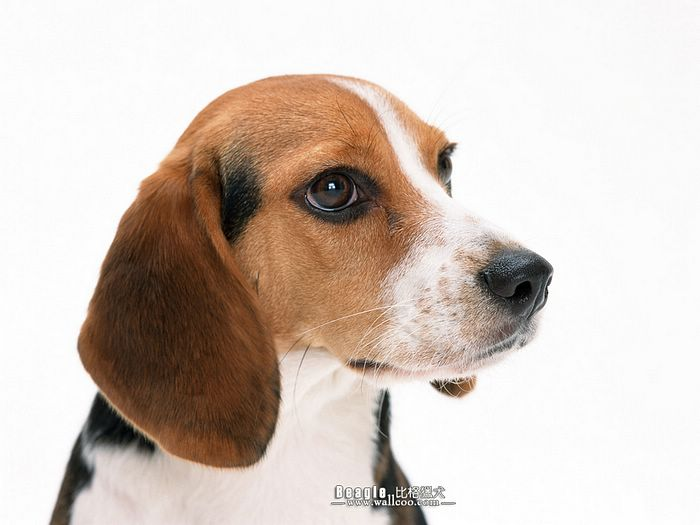 Beagle Dog widescreen wallpaper