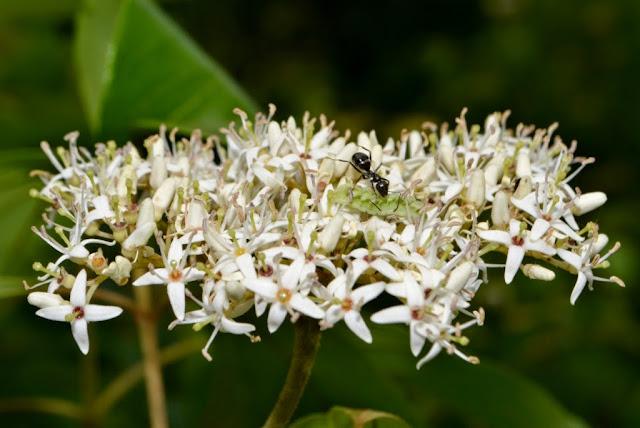 Ant tending Azure butterfly caterpillar on Dogwood flower-cluster