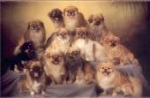tibeti kutyák