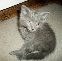 Tiny, abandoned grey kitten