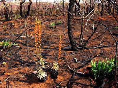A  vegetação brota forte após as queimadas no Cerrado