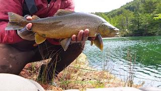 brown trout aysen