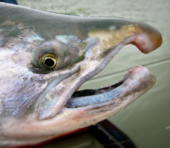 The salmon nose knows for Big nose fish