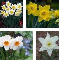 White Narcissus Flower Collections