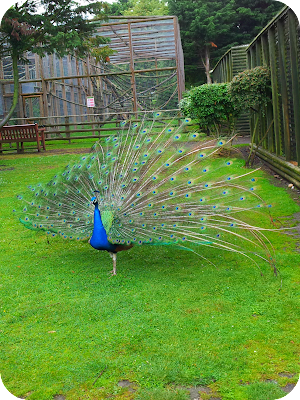 peacock, wingham wildlife park
