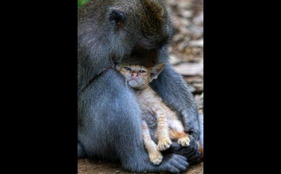 Jepara Mebel Monyet Gendong Kucing Hebohkan Dunia