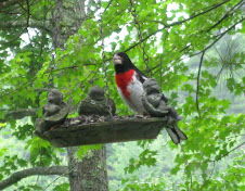 Buster's Feathered Friends:  Mr. Rose-Breasted Grosbeak