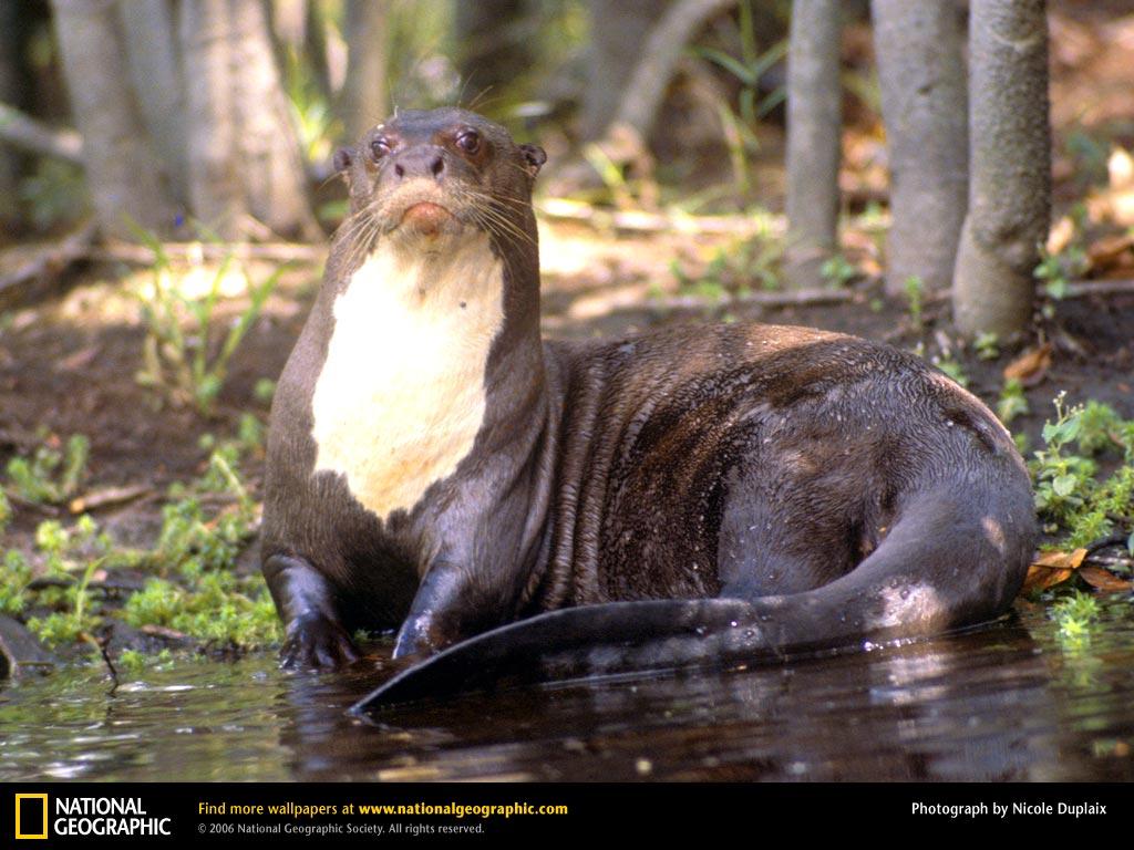 Info Escolar: Lobo de Río o Nutria Gigante