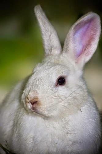 gambar kelinci imut lucu unyu unyu