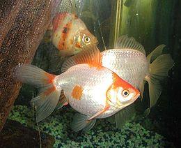 260px Goldfish Japon Balıkları