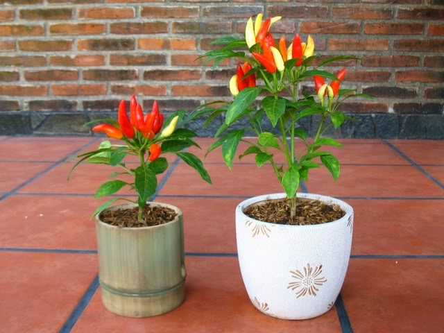 Tips mudah dan sederhana cara menanam merawat dan membudidayakan tanaman cabai cabe rawit merah hijau keriting di pot dan di halaman