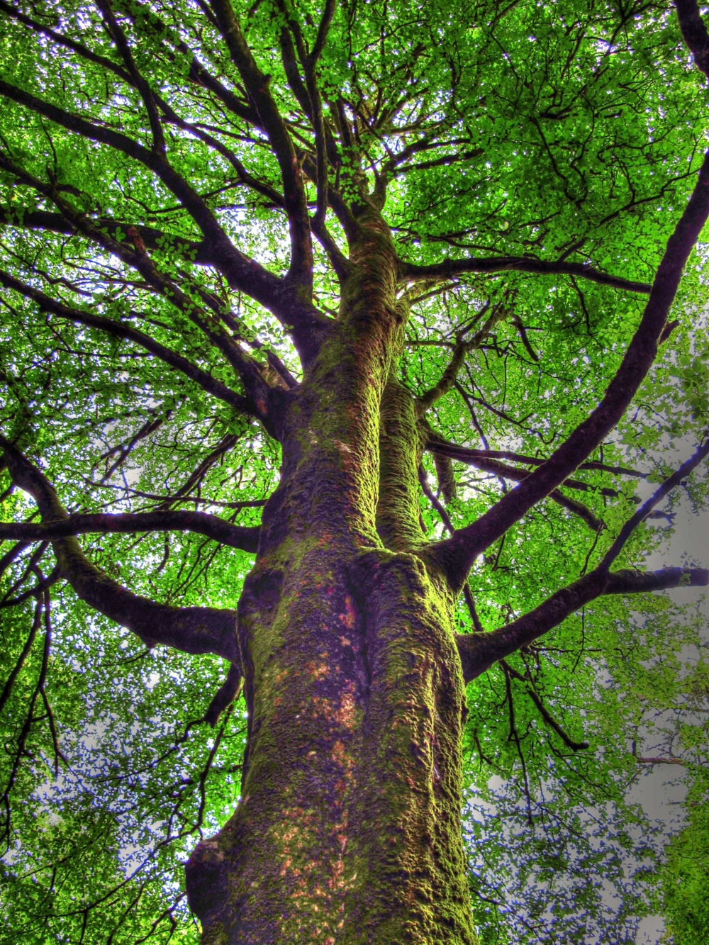 Majestic tree at Torc Waterfall, Ireland photo by susan wellington.