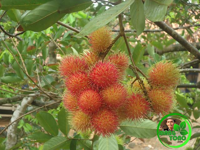 Bulan November ini sudah musim rambutan Subang