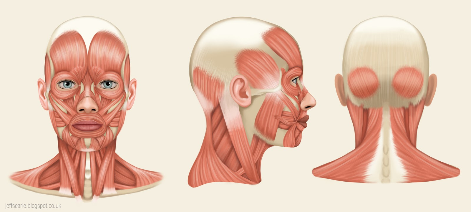 Amazing Muscles Of The Face Image Collection - Human Anatomy Images ...