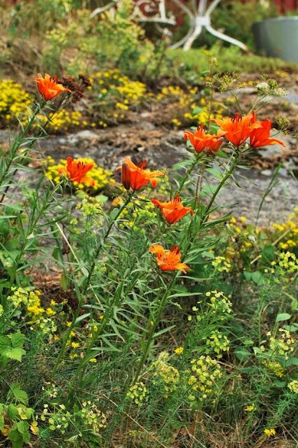 Ruskolilja kukkii Muonamiehen mökin kivikkopihalla