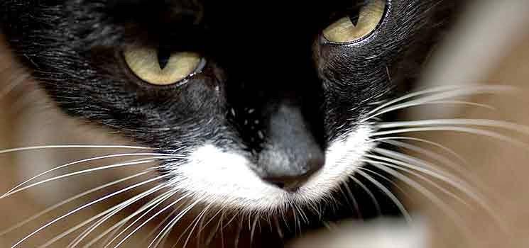 Misai kucing