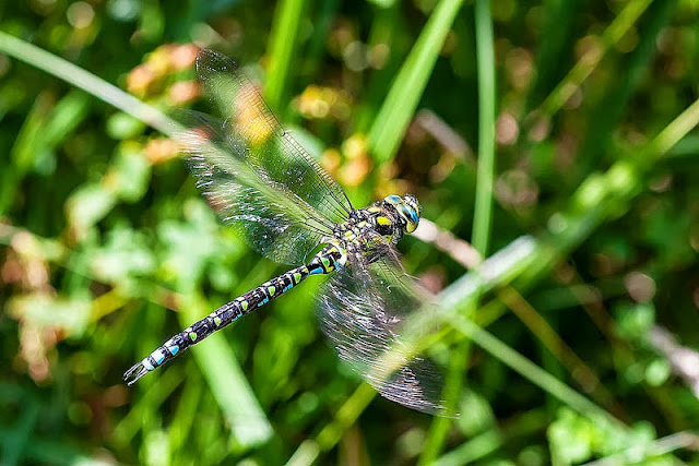 Male Southern Hawker (Aeshna cyanea) in flight in Linford Wood, Milton Keynes, 2012