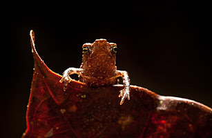 2010 十大新物種 - 1.喙蟾蜍
