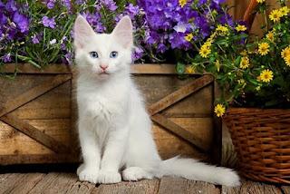 Gambar Kucing Anggora Lucu dan Imut 10006