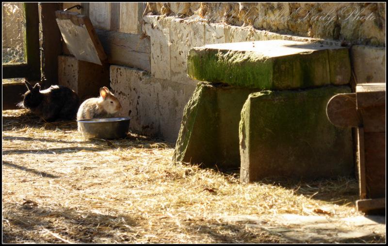 Rabbits Queen's hamlet Versailles