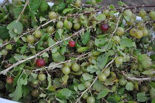Stikkelsbær hos Uldgården