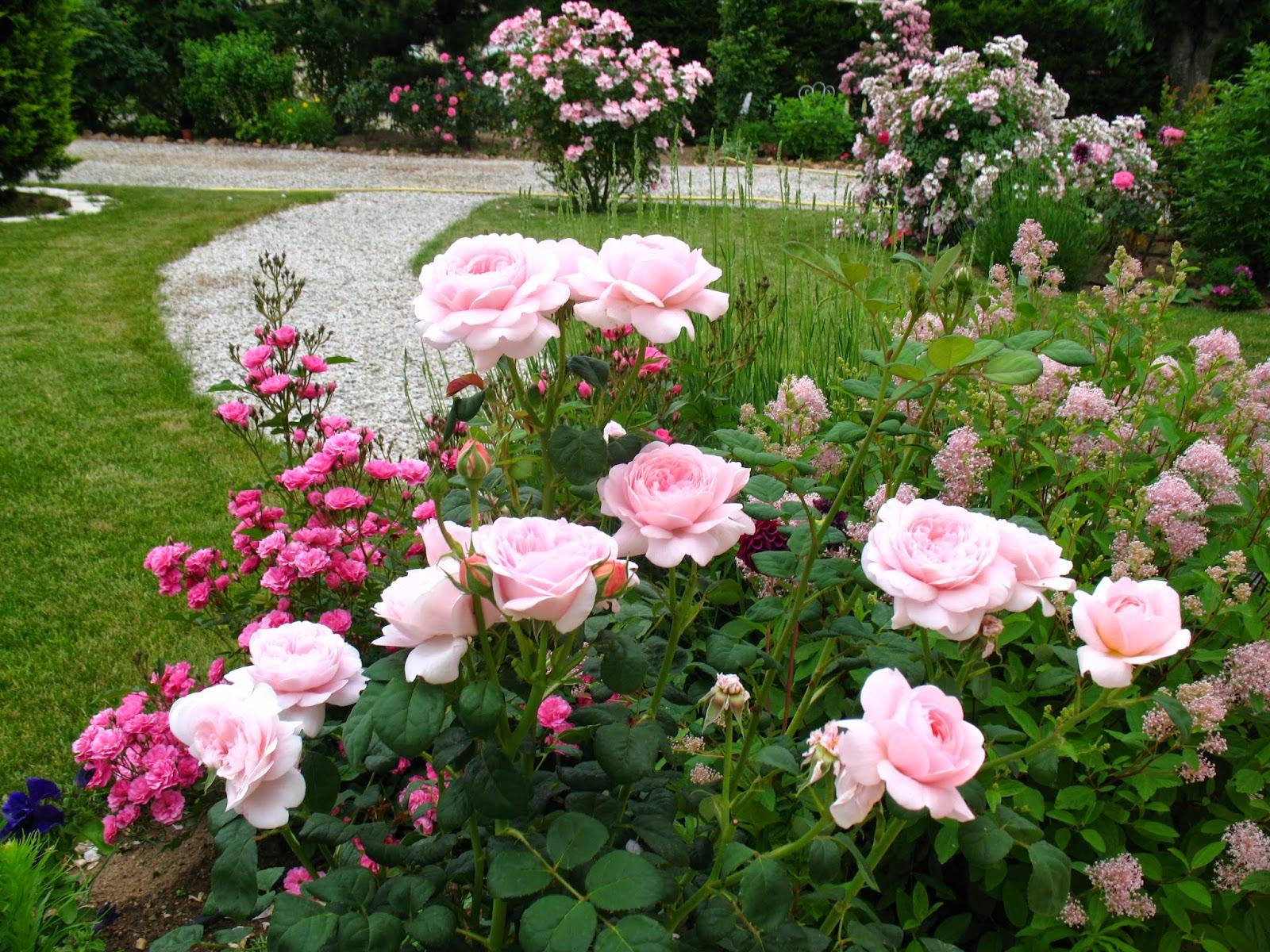 Roses du jardin ch neland queen of sweden un rosier for Jardin de jardiniers