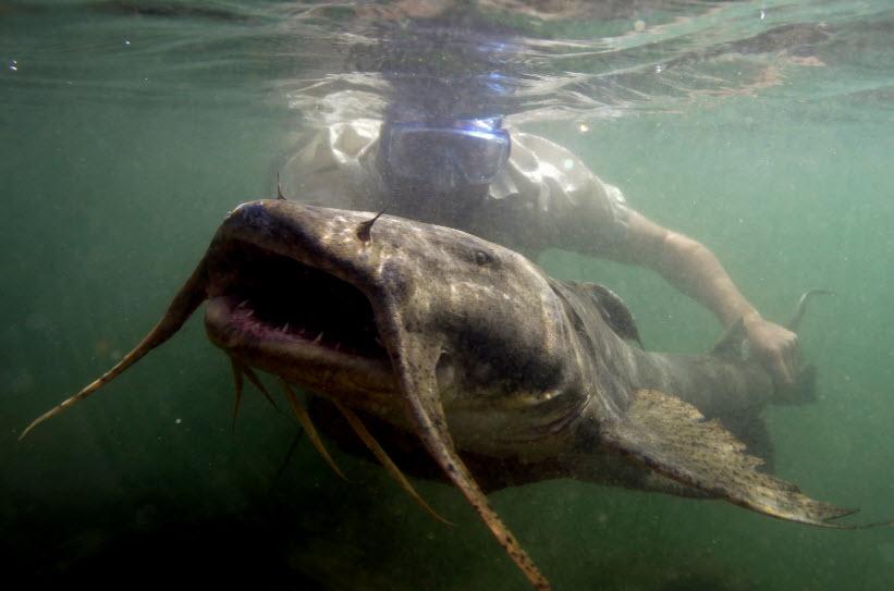 The Mekong Giant Catfish