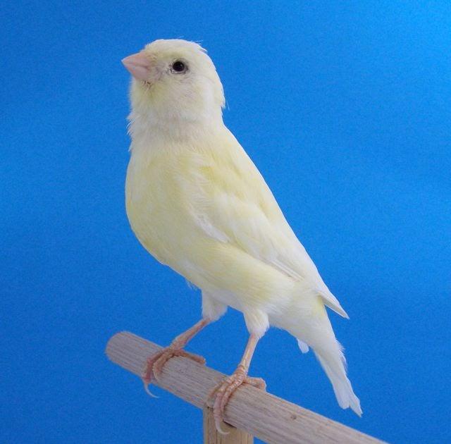 Guía de Canarios: Amarillo Marfil