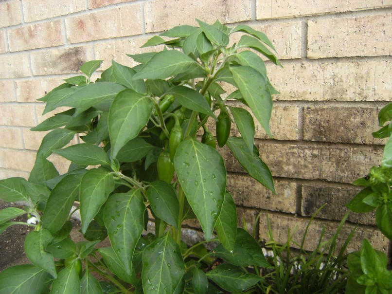Jalapeno pepper plant leaves
