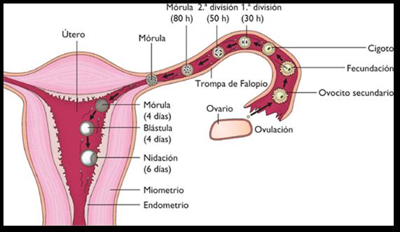 Gametogenesis: La influencia hormonal en el aparato reproductor femenino