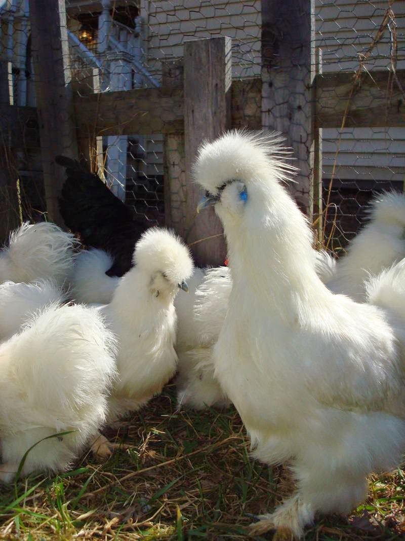 Proud family men, the cocks of the Silkie breed will not only protect their own chicks but any that show vulnerability. The mothers too have a wonderful maternal instinct and will sit tight upon a brood of eggs and care for her chicks until they are ready to go it alone.