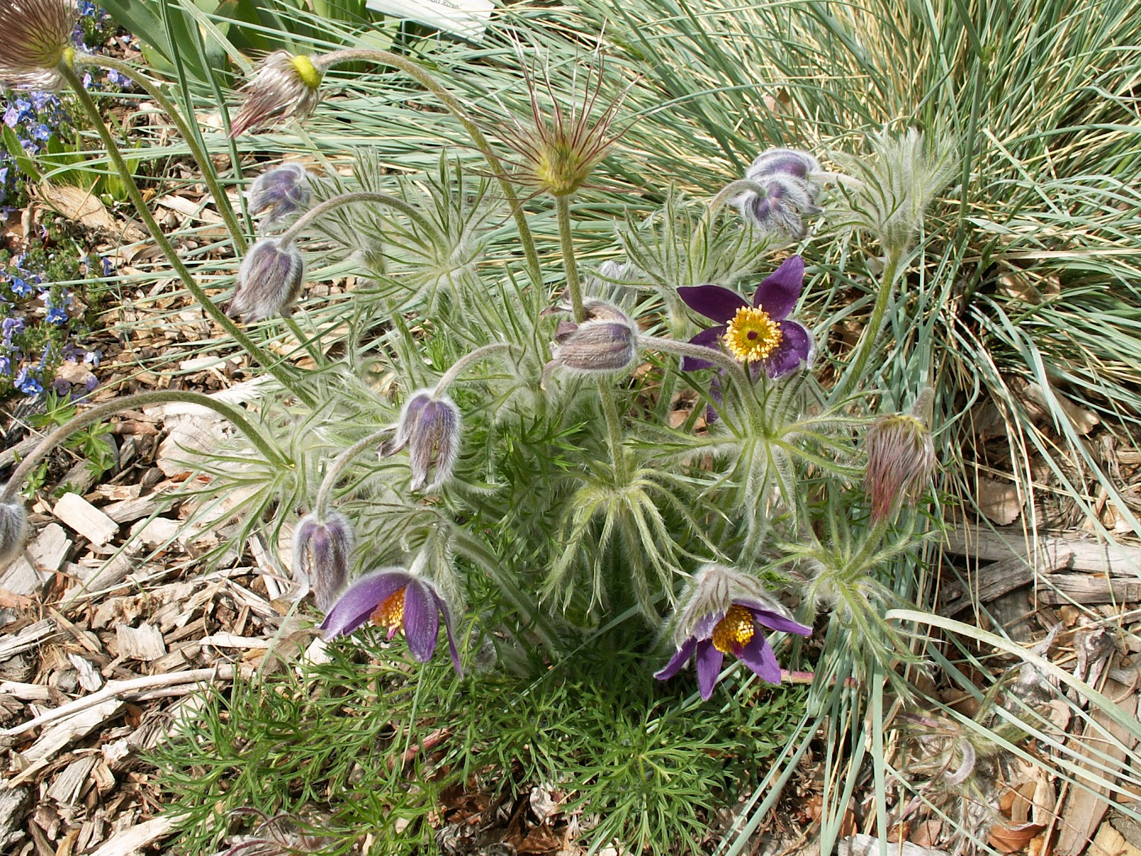 JeffCo Gardener Pasque Flower Signals that Spring is Here by Elaine Lockey