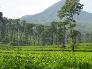kebun teh pagilaran